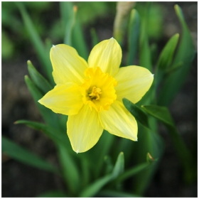 blossoming daffodil