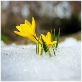 saffron crocus flower bloom melt snow spring