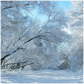 Winter snow and trees. Frosty day in winter.